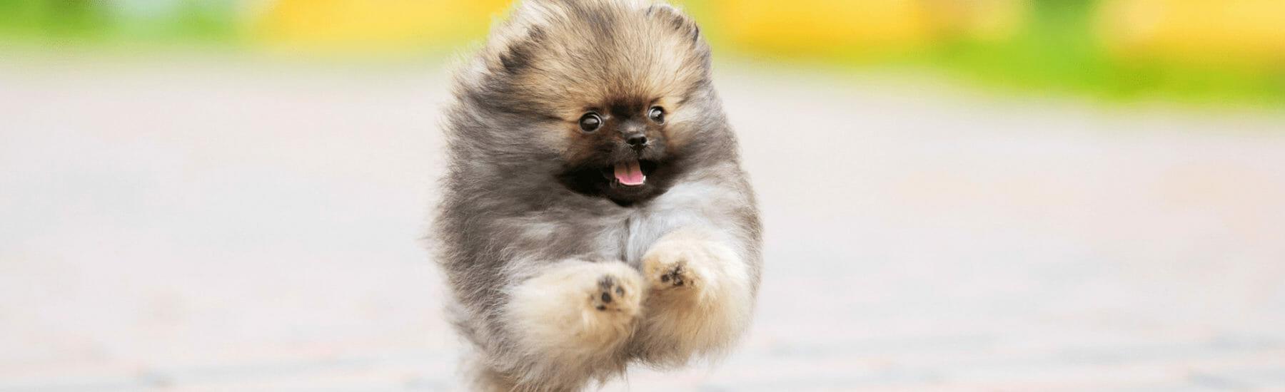 Fluffy dog jumping through air