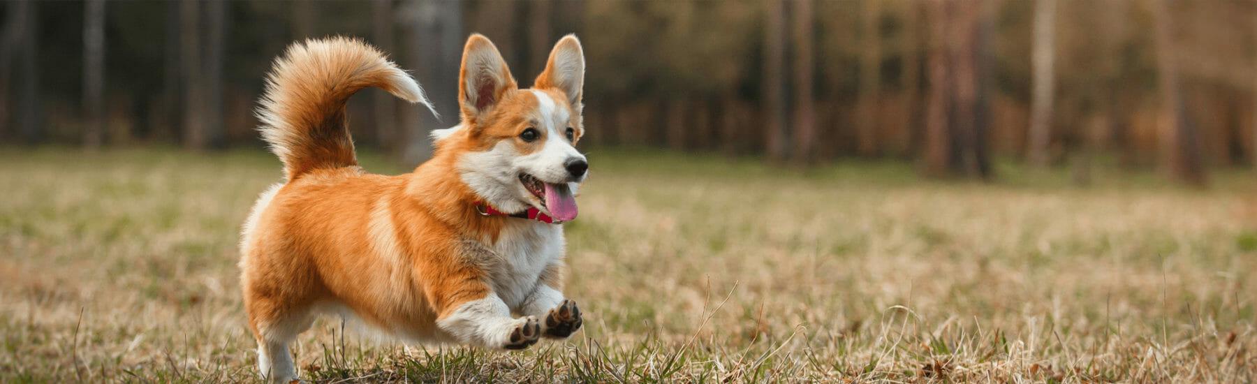 Orange dog jumping through grass
